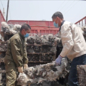 COVID and the link to mink: let's not forget China's fur industry